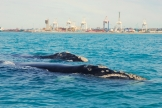 southern right whales milling