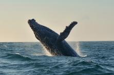 7humpbackwhalebreaching
