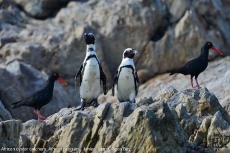 african_penguin_27_880x588
