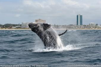 humpbacks_9