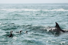 African penguins and bottlenose dolphin