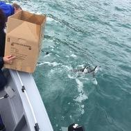 SANCCOB penguin release